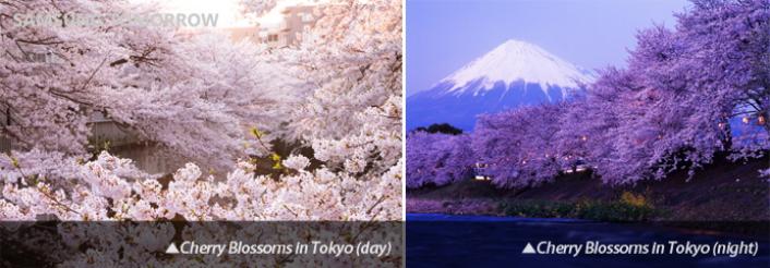 cherry_blossom_Main_1